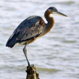 Heron Perched on a Piling