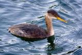 Molting Red-necked Grebe