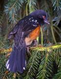 Spotted Towhee (Back)