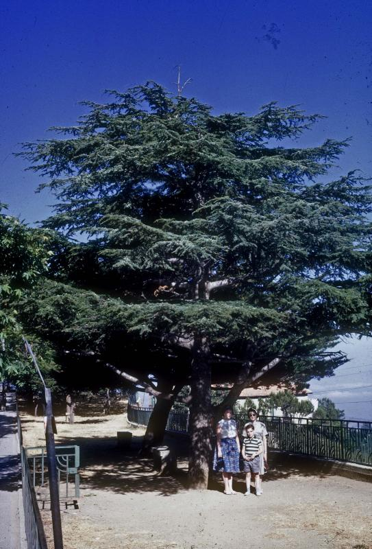 A Cedar of Lebanon - One of the Few Remaining