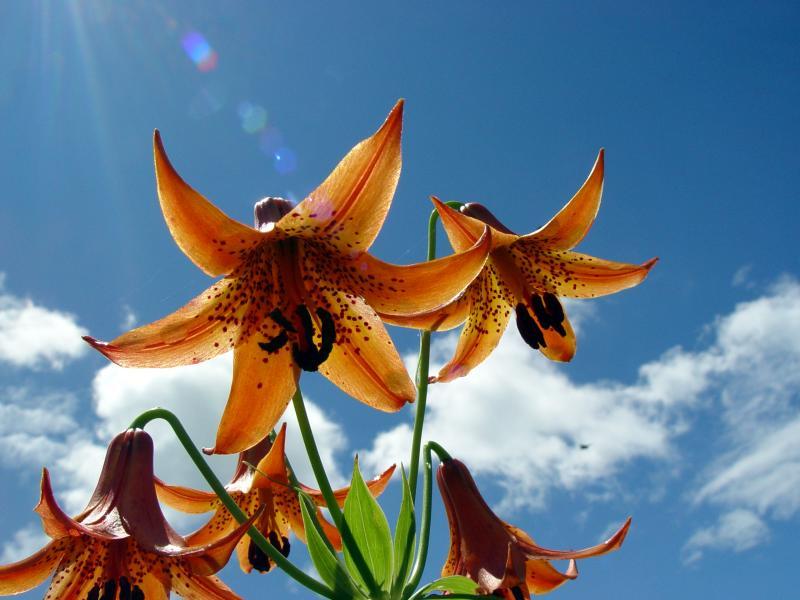 Orange Tiger Lilies in Blue Sky