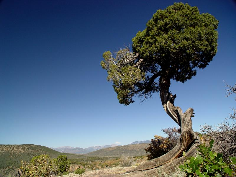 Twisted juniper, Black Canyon of the Gunnison, Colorado