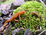 Red Newt meets slug