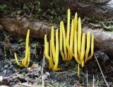 Yellow fungus