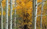 Aspen and Gold