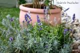 4 different kinds of lavender