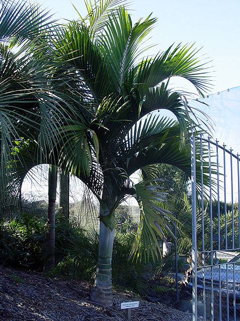 Hedyscepe canterburyana at South Pacific Palms, Kerikeri, NZ, 7-Jun-05