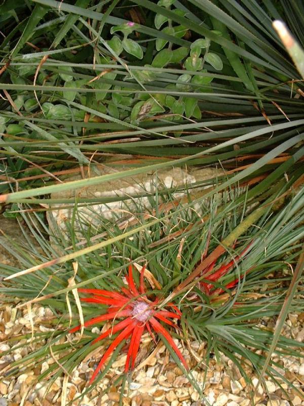 Fascicularia bicolor v. canaliculata with Tradescantia sillamontana