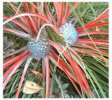 Fascicularia bicolor var canaliculata