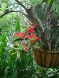 Billbergia venezuelana