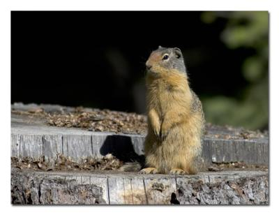 Columbian Ground Squirrel.jpg