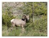 Big Horn Sheep 1.jpg