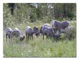Big Horn Sheep 2.jpg
