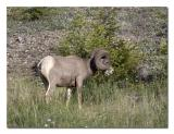Big Horn Sheep 3.jpg