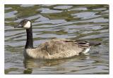 Canada Goose 1.jpg