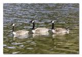 Canada Goose 2.jpg