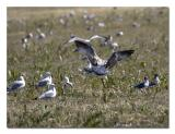 Field of Gulls.jpg