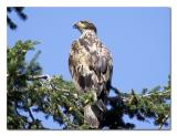Immature Golden Eagle 2.jpg