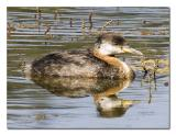 Red-necked Grebe 1.jpg