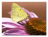 Sulphur Butterfly.jpg