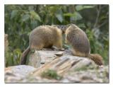 Marmot 3.jpg