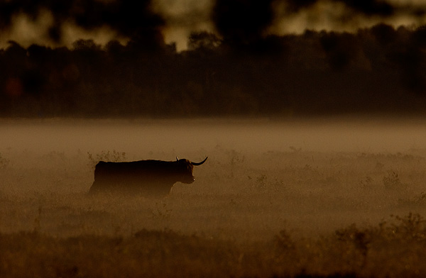 Highland cattle in the morning fog