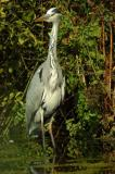 D2_ 00360 Grey Heron.jpg
