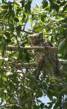 Great Horned Owl checking me out