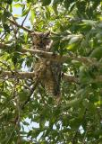 Great Horned owl going back to sleep