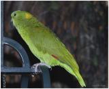 DR-2005-10-11-0023-Parrots-AJ