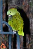 DR-2005-10-11-0043-Parrots-AJ