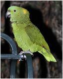 DR-2005-10-11-0073-Parrots-AJ