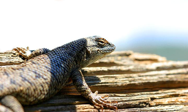 Osceola Ghost Town Lizard