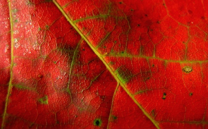 August Maple Leaf