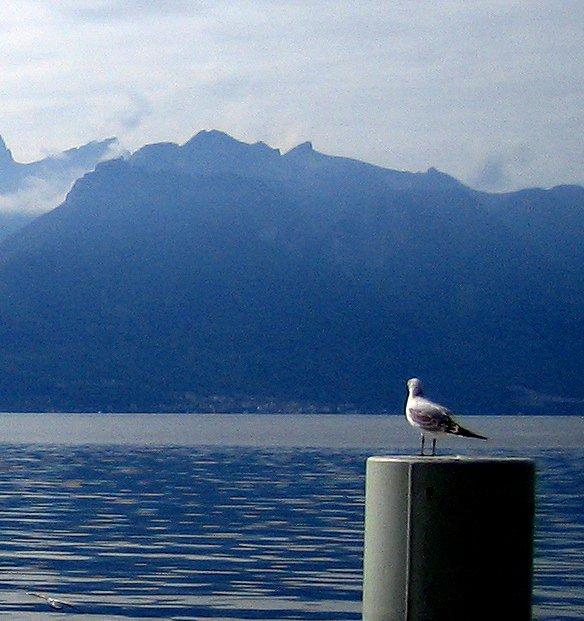 Contemplitive Gull