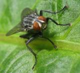 Common Fly
