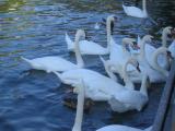 Swans on Rhone River