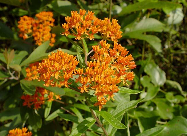 Butterfly Milkweed 1