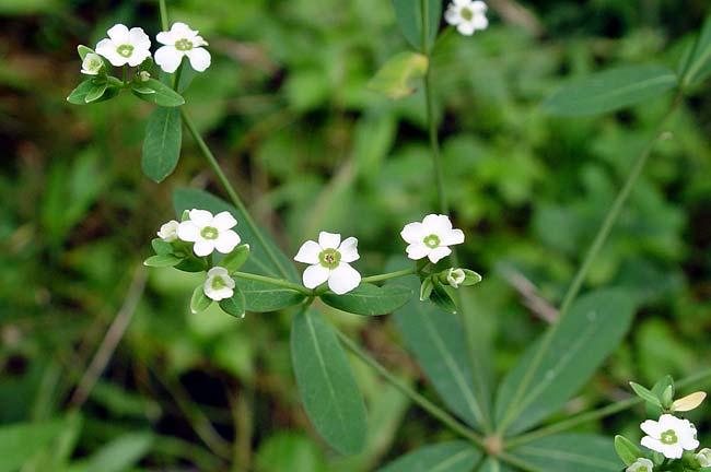 Flowering Spurge 1