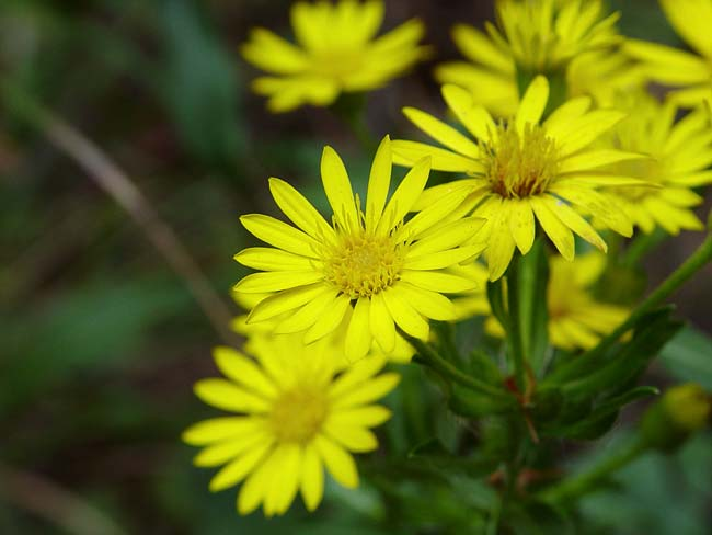 Grass-leaf Golden Aster