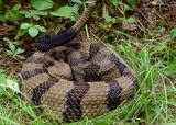 Timber Rattlesnake 3