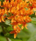 Butterfly Milkweed 2