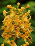 Yellow Fringed Orchid 1