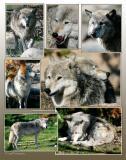 Wolves-Yellowstone