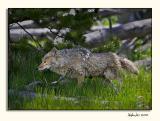 Coyote (_P9E9778.jpg)