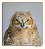 Alberta Birds of Prey (_P9E9945.jpg)