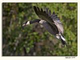 Canada Goose_P9E4994.jpg