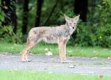 Coyote_2.jpg