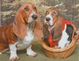 Bassett Hounds Ginger & Elvis