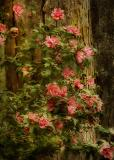 Rose of Sharon.jpg